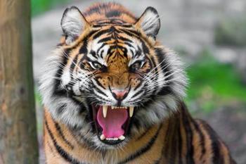 angry-tiger-emotion-1189729-480x320.jpeg